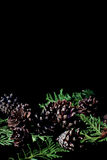 Evergreen branches with cones on dark black background Royalty Free Stock Photos