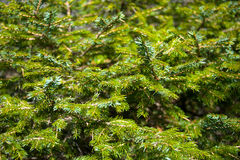 Fir-tree Stock Photo