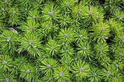 Evergreen branches Stock Photos