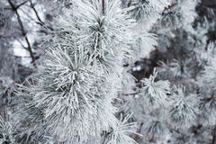 Evergreen branches pine tree Stock Photos