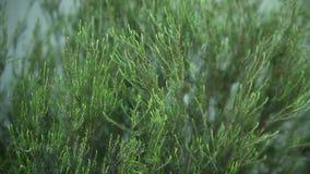 Evergreen bush stock footage
