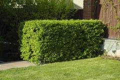 Evergreen bushes house royalty free stock image