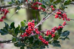 Evergreen Butcher's Broom shrub. An evergreen eurasian shrub called Butcher's Broom (Ruscus aculeatus) with his typical red berries stock photography