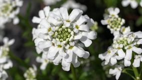 Evergreen Candytuft, Iberis sempervirens stock video