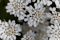 Evergreen candytuft Iberis sempervirens Royalty Free Stock Photos