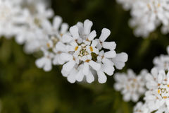 Evergreen candytuft Iberis sempervirens Stock Photography