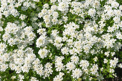Evergreen candytuft (Iberis sempervirens) flowers Royalty Free Stock Photos