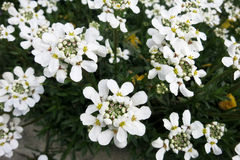 Evergreen candytuft or Perennial candytuft (Iberis sempervirens) Stock Photo