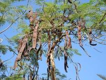 Evergreen carob Royalty Free Stock Photo