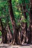 Evergreen Casuarina equisetifolia (Common ironwood) forest tree Stock Images