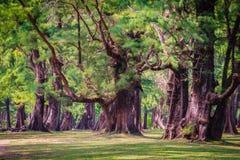Evergreen Casuarina equisetifolia (Common ironwood) forest tree Royalty Free Stock Photos