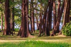 Evergreen Casuarina equisetifolia (Common ironwood) forest tree Stock Image