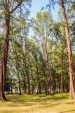 Evergreen Casuarina equisetifolia (Common ironwood) forest tree Stock Photos