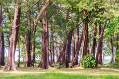 Evergreen Casuarina equisetifolia (Common ironwood) forest tree. At Naiyang beach bearby Phuket airport, Thailand Royalty Free Stock Image