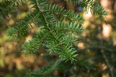 Evergreen cedar branch in forest royalty free stock photo