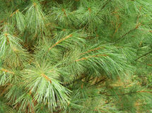 Evergreen Cedar Close-Up Stock Photos