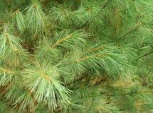Evergreen Cedar Close-Up stock photos