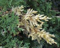 Evergreen China juniper, Juniperus davurica Expansa Variegata. Bush photo with green and yellow needles, ornamental thorns of the royalty free stock photography