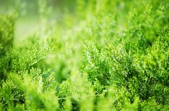 Evergreen China juniper Juniperus davurica Expansa Variegata. Photo of bush of a coniferous tree in sunlight. Close-up, Soft focus. Evergreen China juniper royalty free stock photography