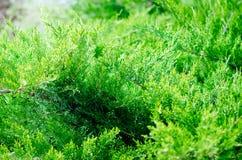 Evergreen China juniper Juniperus davurica Expansa Variegata. Photo of bush of a coniferous tree in sunlight. Close-up, Soft focus. Evergreen China juniper stock photography