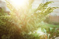 Evergreen China juniper Juniperus davurica Expansa Variegata. Photo of bush of a coniferous tree in sunset sunlight. stock photo