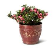 Evergreen Christmas arrangement in pot Stock Photos