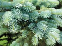 Evergreen Christmas Miracle royalty free stock image