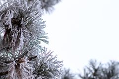 Evergreen christmas tree in frost at winter morning Stock Photo
