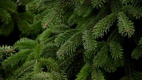 Evergreen Christmas tree full frame. Evergreen Christmas tree gently sway from the wind full frame stock video