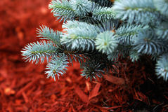Evergreen. A closeup shot of an evergreen tree in a garden of red mulch Royalty Free Stock Photo