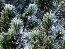 Evergreen congelato immagini stock