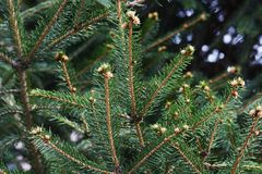 Leaves of Fir tree. Evergreen conifer / Leaves of Fir tree Royalty Free Stock Photos