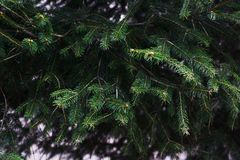 Leaves of Fir tree. Evergreen conifer / Leaves of Fir tree Stock Photos