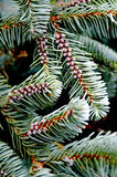 Evergreen conifer needles. Close up of spruce pine needles with small flower buds Stock Photos