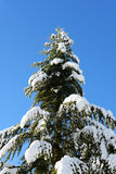 Evergreen conifer with snow covered branches Royalty Free Stock Photo