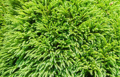 Evergreen conifer trees background, abstract.  Stock Image