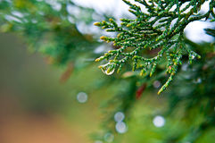Evergreen coniferous branch with rain drops Stock Photography