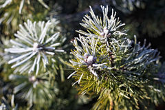 Evergreen coniferous branches. With fresh hoarfrost on a sunny day Royalty Free Stock Image