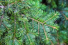 Evergreen coniferous branches Royalty Free Stock Image