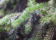 Evergreen coniferous branches Royalty Free Stock Photography
