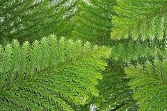 Evergreen coniferous leaves Stock Photos