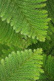 Evergreen coniferous leaves Royalty Free Stock Photos