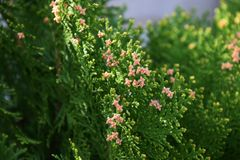 Oriental arborvitae. Evergreen coniferous tree`Oriental arborvitae Royalty Free Stock Photography