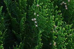 Oriental arborvitae. Evergreen coniferous tree`Oriental arborvitae Stock Images