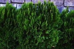 Oriental arborvitae. Evergreen coniferous tree`Oriental arborvitae Royalty Free Stock Image