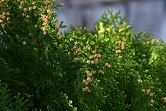 Oriental arborvitae. Evergreen coniferous tree`Oriental arborvitae Stock Photos