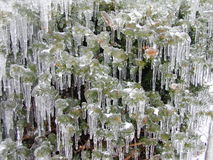Evergreen Covered in Ice. During an ice storm in missouri Stock Images