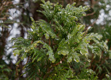 Evergreen  covered with ice. Stock Image
