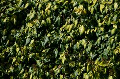 Free Evergreen Creeper, Dark Green Leaf With A Yellow Center. Older Leaves Are Larger And More Rounded. Vines With Sticky Roots, Which Royalty Free Stock Photo - 211673685