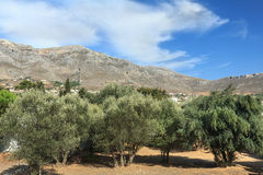 Evergreen cultivated olive trees grove on Greek Kalymnos island Stock Photos